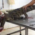peta-crocodile-leather-2_censored